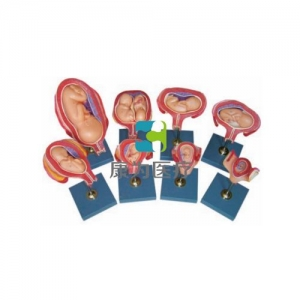 """""""康为医疗""""妊娠胚胎发育过程模型,胚胎发育模型"""