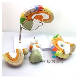 """""""康为医疗""""人体大脑皮层解剖betway必威手机版中文版"""