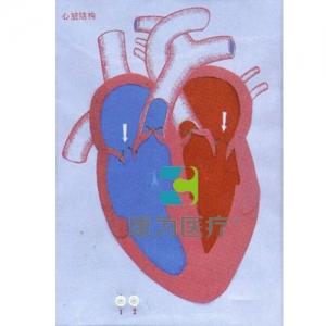 """""""康为医疗""""心脏收缩舒张与瓣膜开闭演示模型"""