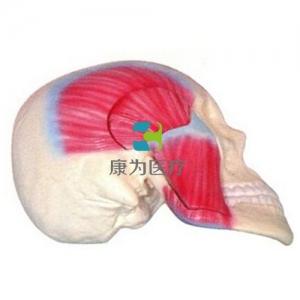 咀嚼肌解剖威廉希尔