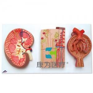 肾切面、肾单位、血管和肾小体威廉希尔