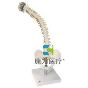 活动性脊柱威廉希尔,带有软椎间盘