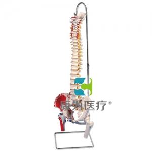 带股骨头和着色肌肉的经典活动脊柱威廉希尔