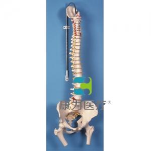 带股骨头的经典活动脊柱威廉希尔