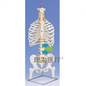 带肋骨和股骨头的经典灵活脊柱威廉希尔
