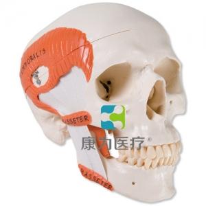 带有咀嚼肌的功能性颅威廉希尔,2部分