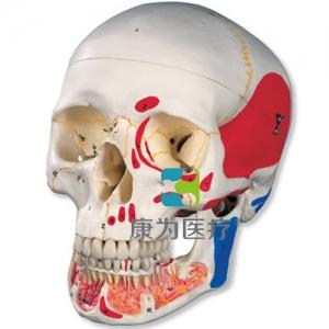 经典颅威廉希尔带有开放下颌,着色, 3部分