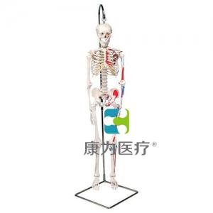 """迷你骨骼肌肉威廉希尔""""Shorty"""",带可悬挂支架"""