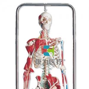 整形外科骨骼威廉希尔