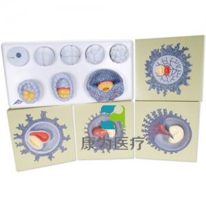 胚胎生长过程威廉希尔,12个阶段