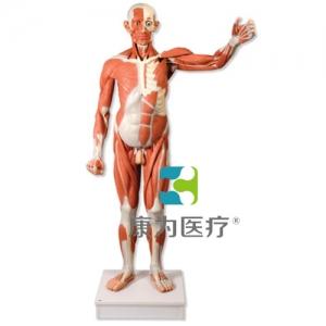 实物大小男性人体肌肉威廉希尔,37部分