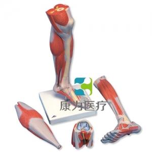 豪华型带膝的小腿肌威廉希尔,3部分