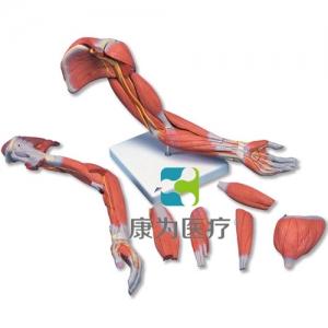 肌肉臂,6部分