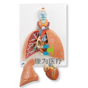 带咽喉的肺威廉希尔,5部分
