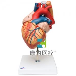 心脏与食道、气管威廉希尔,实物的2倍,5部分