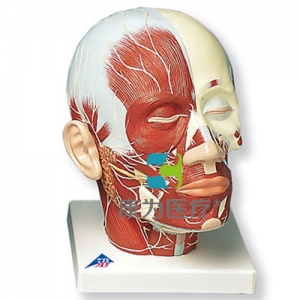 头部肌肉加神经威廉希尔
