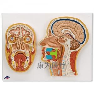 头中部和前部断层面