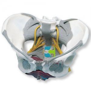 带韧带、神经和底肌的女性骨盆威廉希尔