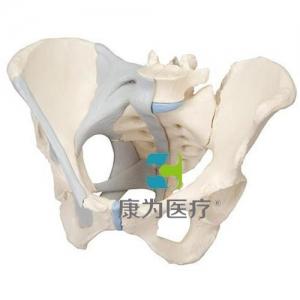 女性骨盆威廉希尔(配置韧带),3分体
