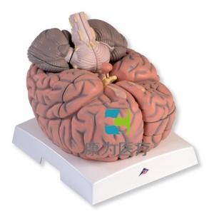 巨型脑威廉希尔,实物的2.5倍,14部分