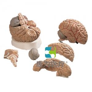 脑及动脉威廉希尔,5部分