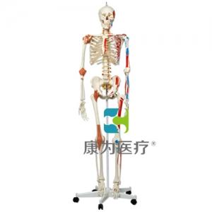 GPI人体骨架高分子硅胶威廉希尔(软硬结合)