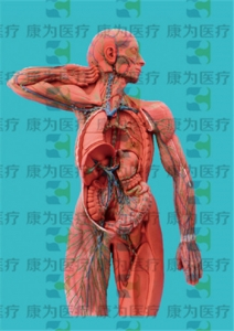 GPI医学人体肌肉硅胶Manbo万博体育(软硬结合)