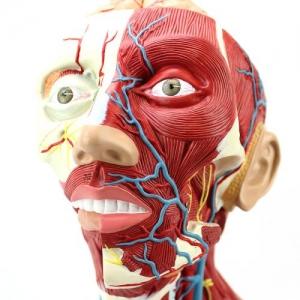 GPI局部解剖学硅胶Manbo万博体育(软硬结合)