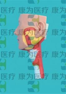 GPI断层解剖学硅胶Manbo万博体育(软硬结合)